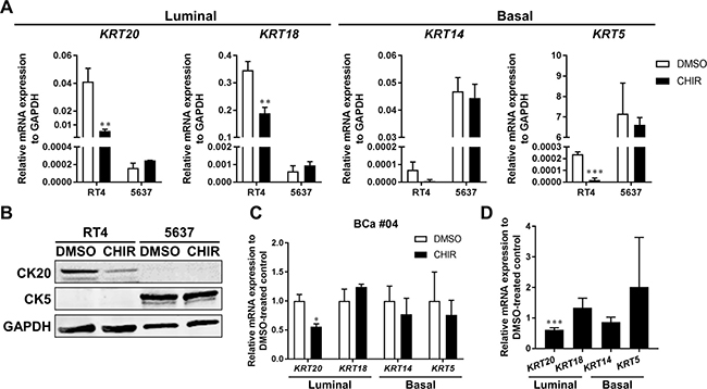 CK20 is less expressed in CHIR-stimulated bladder cancer organoids.