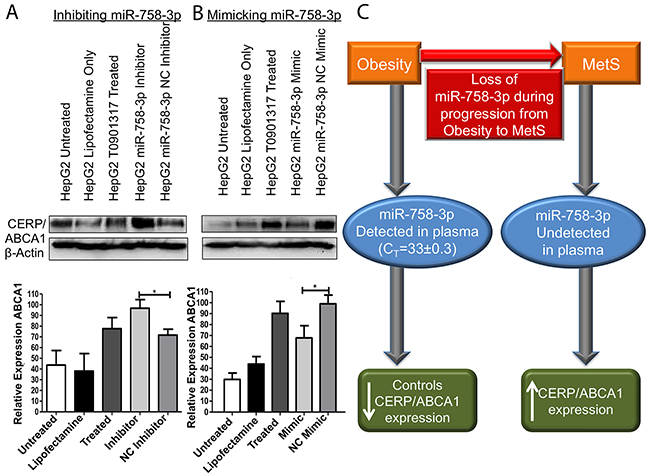 miR-758-3p can control expression of CERP/ABCA1.