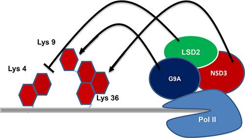 Regulation of transcriptional elongation: LSD2 associated with transcriptional elongation factors and phosphorylated RNA polymerase II.