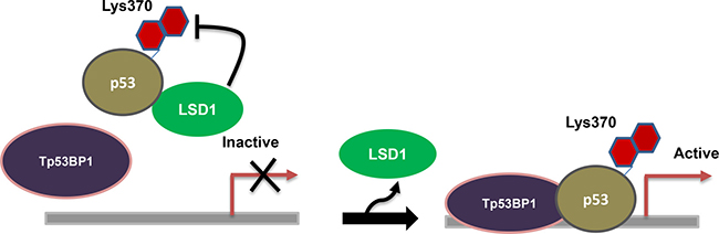 Regulation of p53: LSD1 demethylate lysine 370 of the tumor suppressor p53, repressing its function by interacting with 53BP1.