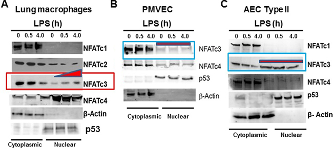 LPS induced NFATc3 activation and translocation is macrophage specific.