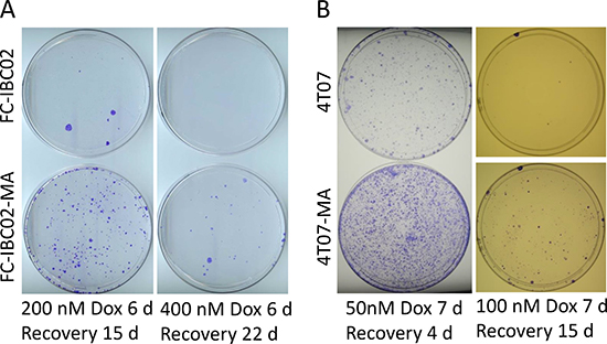 FC-IBC02-MA and 4T07-MA cells are relatively more resistant to doxorubicin than their parental cells.
