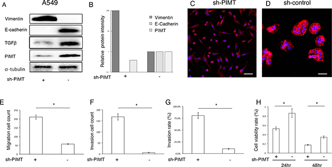 Epithelial properties and mobility capability in sh-PIMT A549 cells.