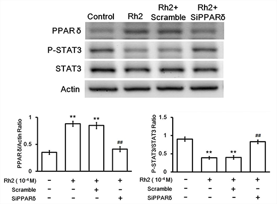 Western blot showing siRNA inhibition on Rh2-induced PPAR-delta and p-STAT3/STAT3 changes.
