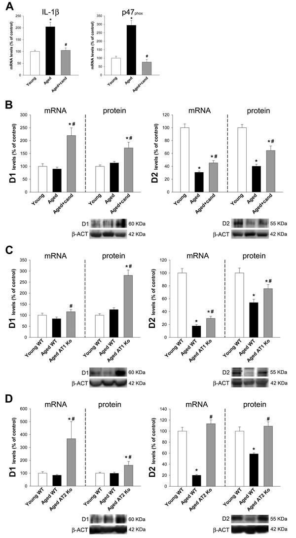 Colon of aged rats, aged rats treated with candesartan, aged AT1-ko mice and aged AT2-ko mice.