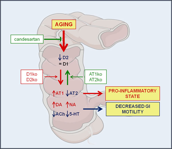 Mutual regulation between the GI dopaminergic system and GI RAS in aged rats and mice deficient for major angiotensin and dopamine receptors.