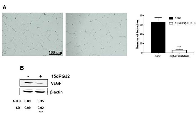 Ni(SalPipNONO) exerts antiangiogenic activity in a co-culture system.