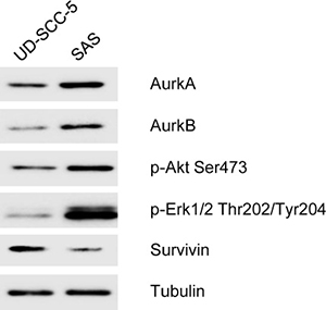 In the Western blot analysis, the homozygous cell line UD-SCC-5 shows a weak expression of Aurora-Kinase A Aurora-Kinase B, p-Akt Ser 473, p-Erk 1/2 Thr 202/Tyr 204 and also expressed strong Survivin.