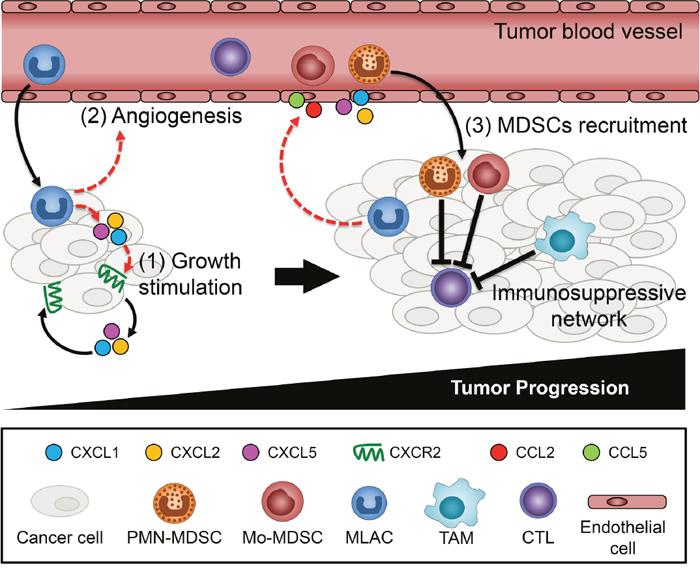 Schematic summary of MLACs functions on tumor progression.
