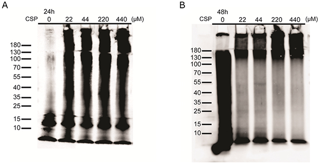 CSP did not inhibit Aβ aggregation in vitro.