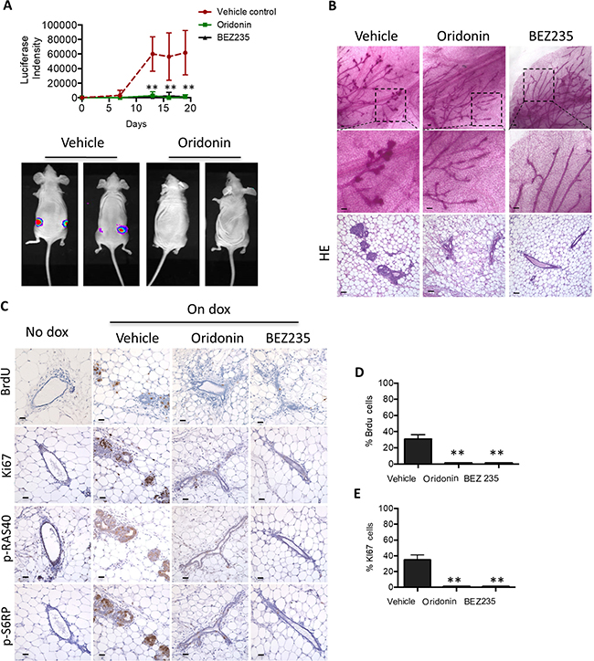 Oridonin prevents initiation of mouse mammary tumors carrying PIK3CAH1047R.