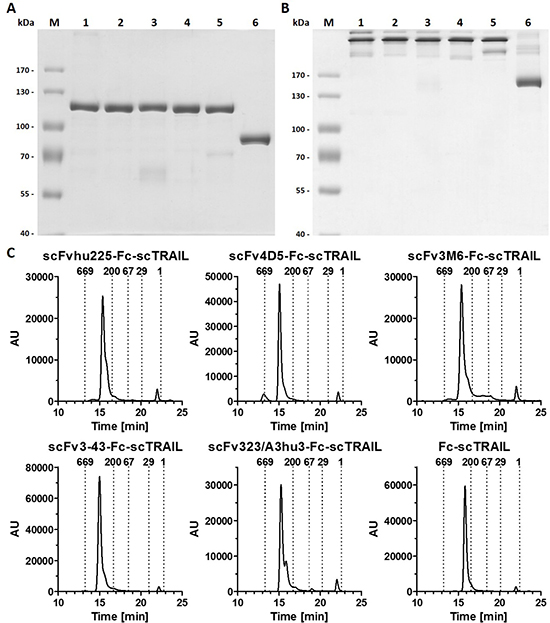 Biochemical characterization of scFv-Fc-scTRAIL and Fc-scTRAIL fusion proteins.
