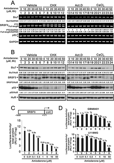 The regulatory mechanism of amiodarone on the SRSF3 expression.