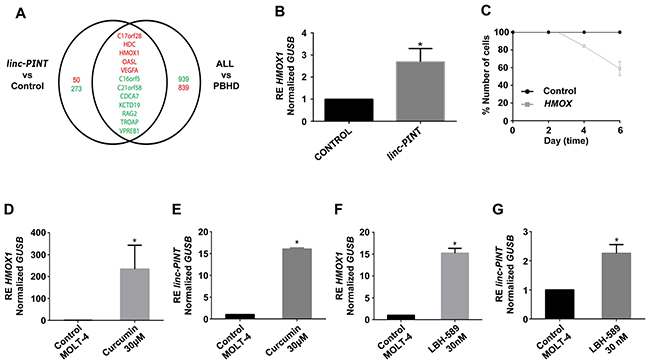 linc-PINT induces HMOX1 transcription and both genes are activated by Curcumin and LBH-589 in MOLT-4 cells.