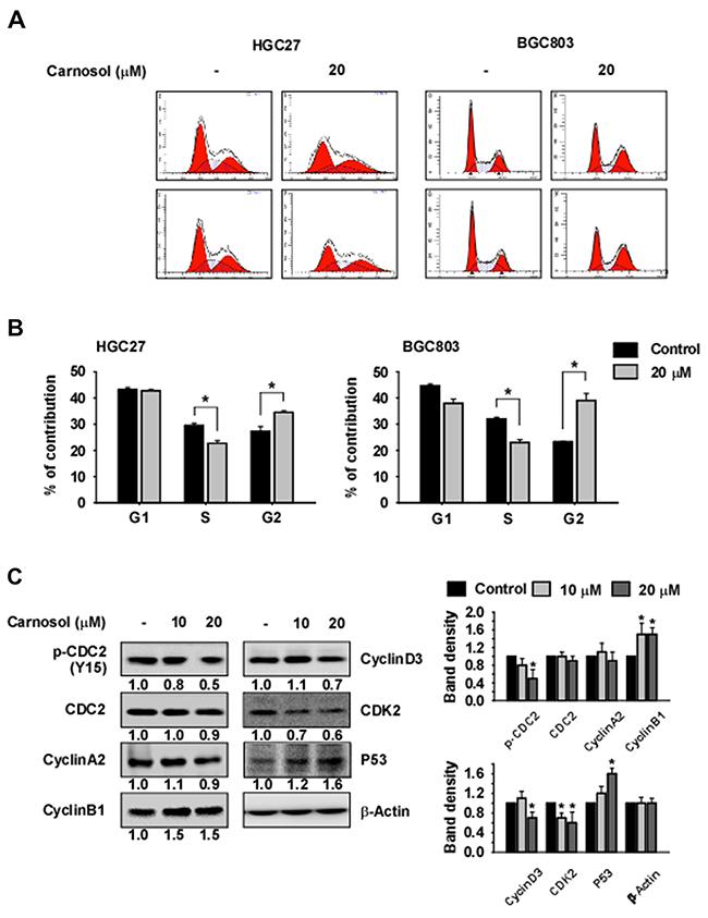 Carnosol induces G2/M phase arrest.