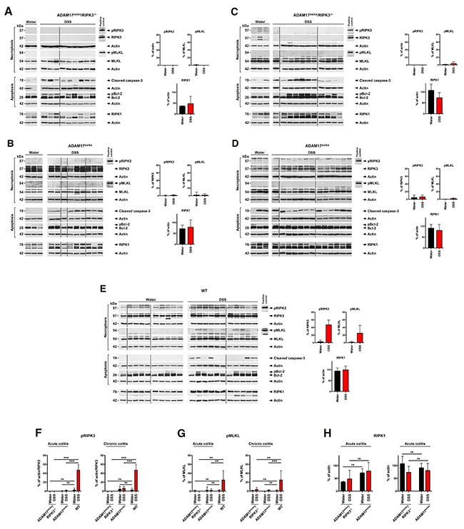 DSS-induced colitis does not induce necroptosis in the colons of ADAM17ex/ex mice.