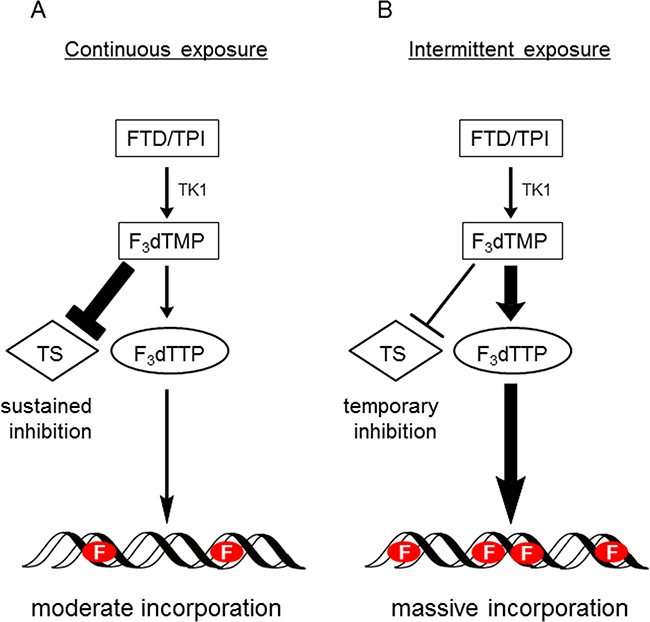 Hypothetical model of action of FTD with continuous exposure or intermittent exposure.