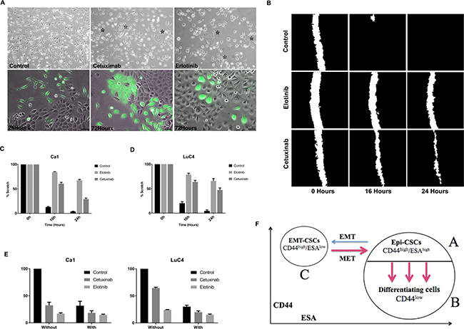 Changes in cell transitions, motility, and response to cisplatin induced by treatment.