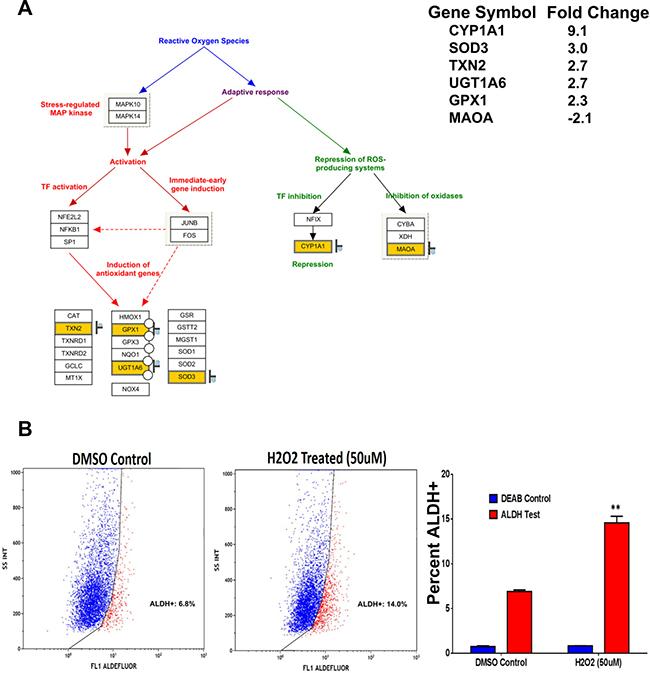 ALDH+ cells exhibit enhanced resistance to oxidative stress.