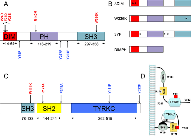 Structural domain organization of SKAP2 and HCK proteins.