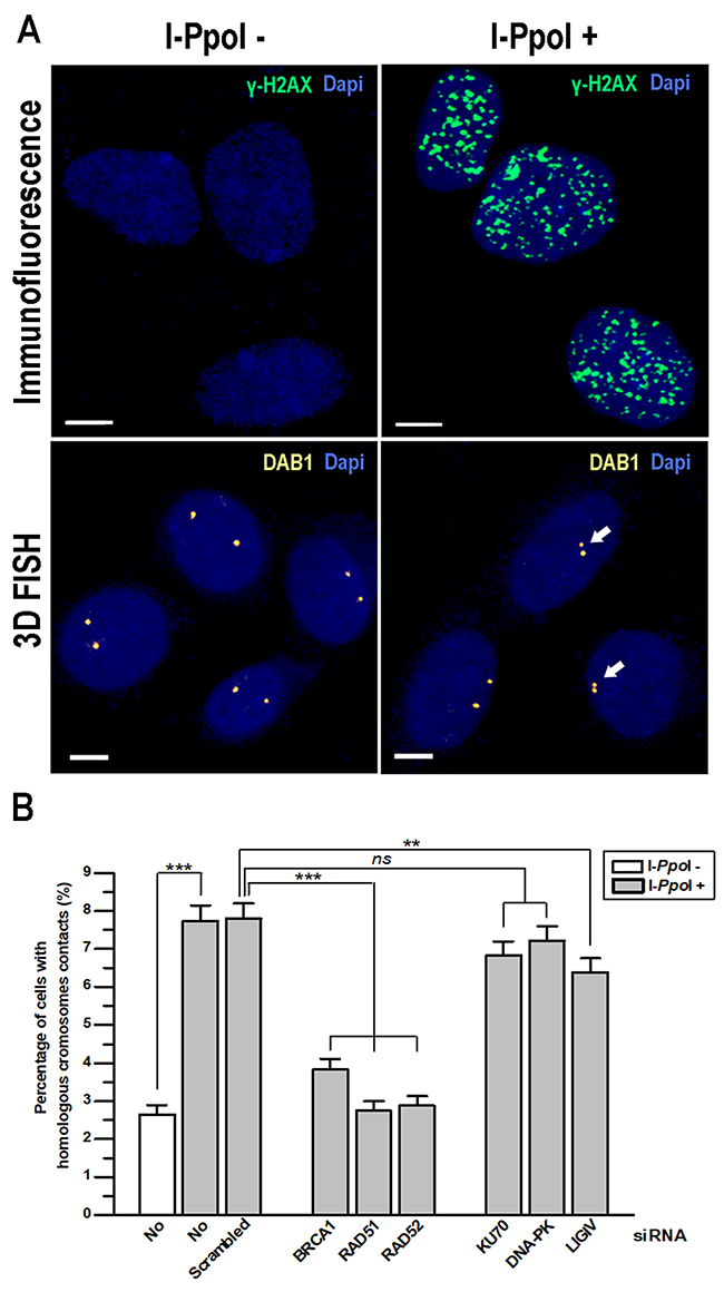 Contact formation between homologous chromosomes at DSBs in DAB1 and GRIP1 genes requires HDR proteins.