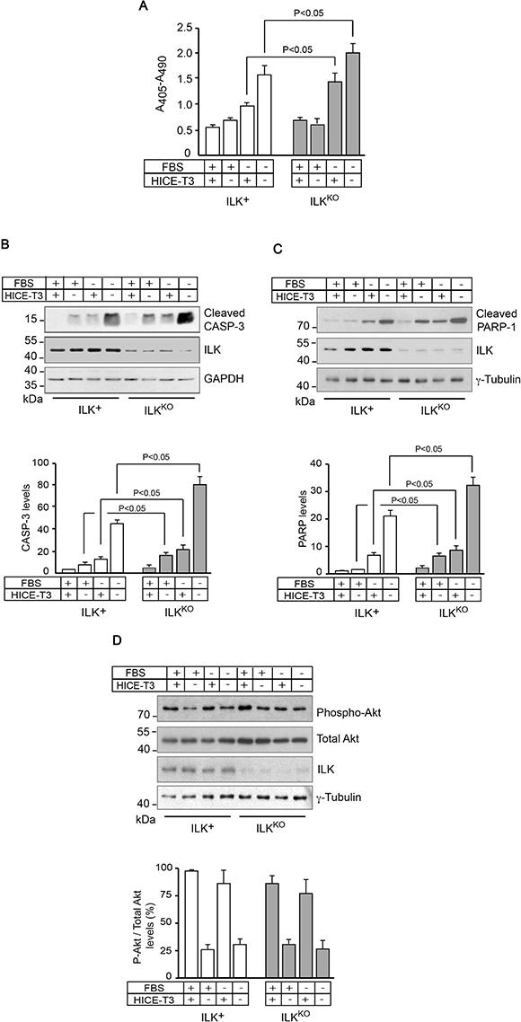 Increased sensitivity of ILKKO keratinocytes to growth factor deprivation.