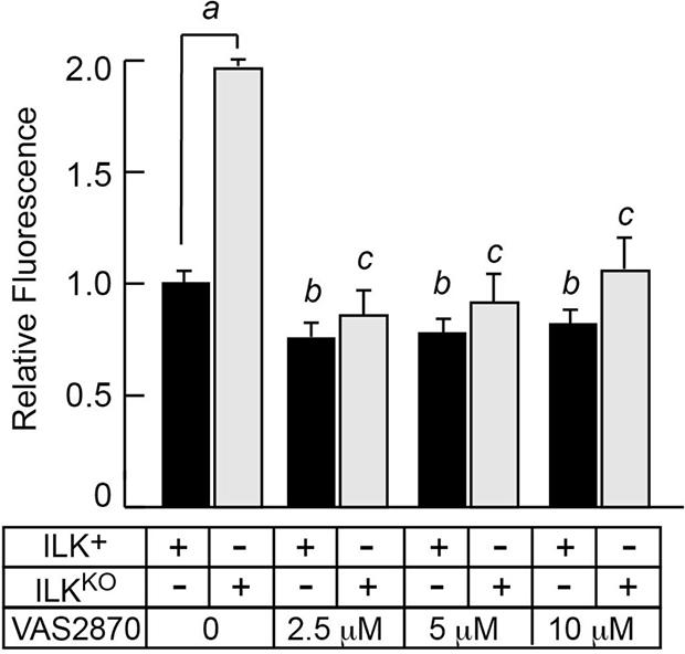 Inhibition of NADPH oxidase activity decreases intracellular oxidant species in ILKKO keratinocytes.