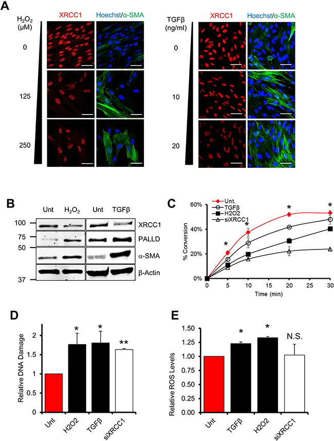 Persistent exposure of fibroblasts to ROS or TGFβ leads to a decrease of BER capacity.