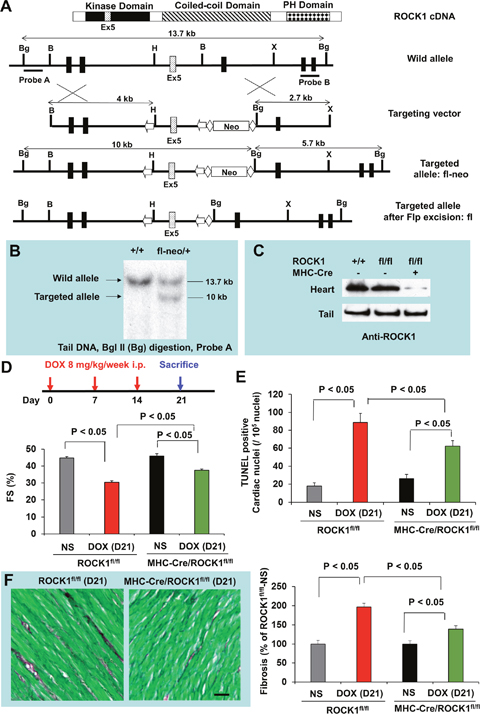 Cardiomyocyte-specific ROCK1 deletion also inhibited doxorubicin-induced cardiac dysfunction, apoptosis and fibrosis.