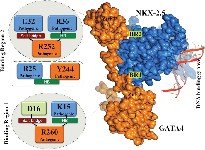 Biological significance of identified key residues: The key interaction triads (in form of salt-bridges and HBs) are highlighted at identified site of BR2 (ZnF1) and BR1 (ZnF2).