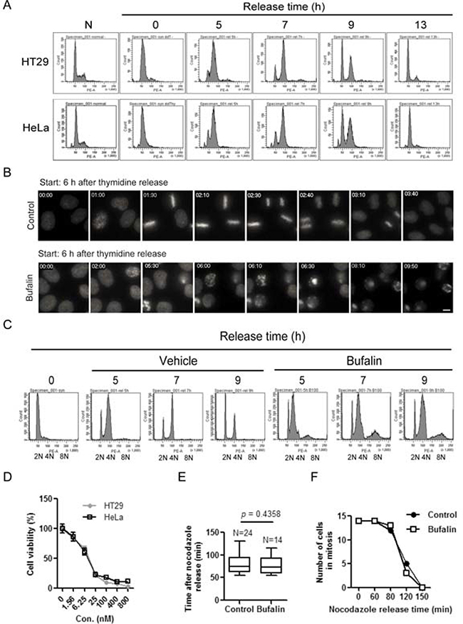 Bufalin treatment lends to a delay of mitotic entry and then mitotic arrest.