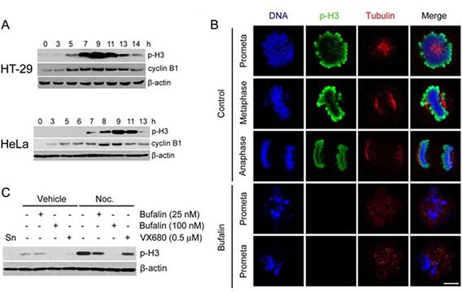 Bufalin reduces mitotic marker histone H3 phosphorylation.