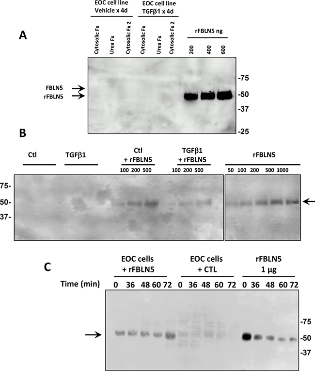 Fibulin-5 is not expressed and not metabolized by EOC cell lines.