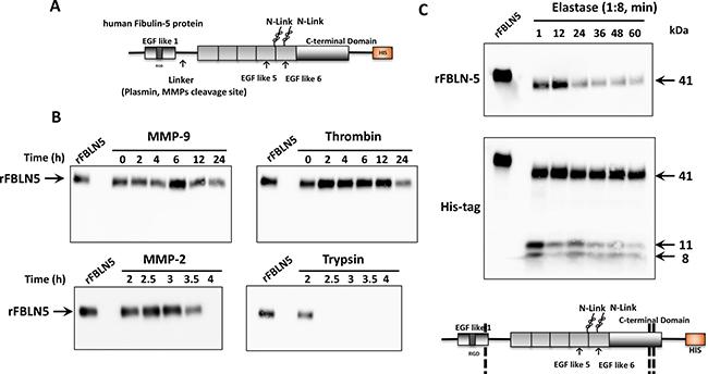 In vitro FBLN5 protease assays.