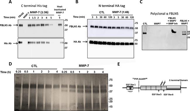 Effect of MMP-7 on degradation of FBLN5 in vitro.