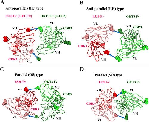 Structural models of diabody variants.