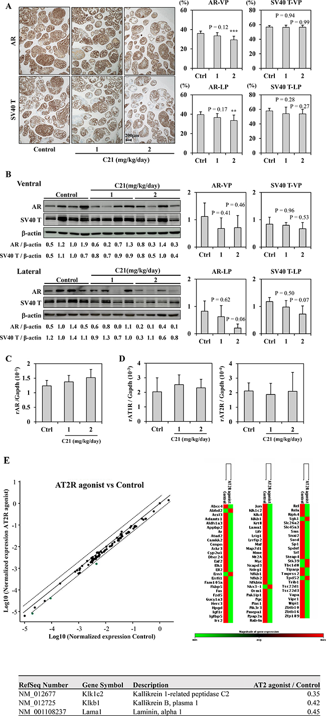 AT2R agonist down-regulated AR signaling.
