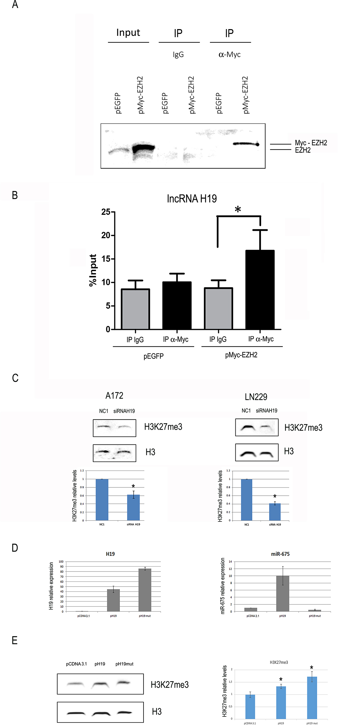 H19 is coimmunoprecipitated with EZH2 and its modulation affects global H3K27 trimethylation in glioblastoma cells.