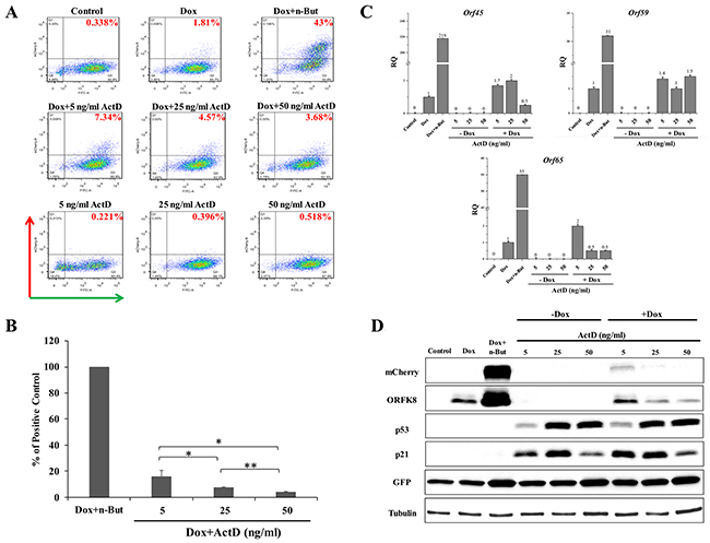 Enhancement of lytic induction of KSHV by combined treatment with Actinomycin D (Act D) and doxycycline (Dox) in iSLK cells.