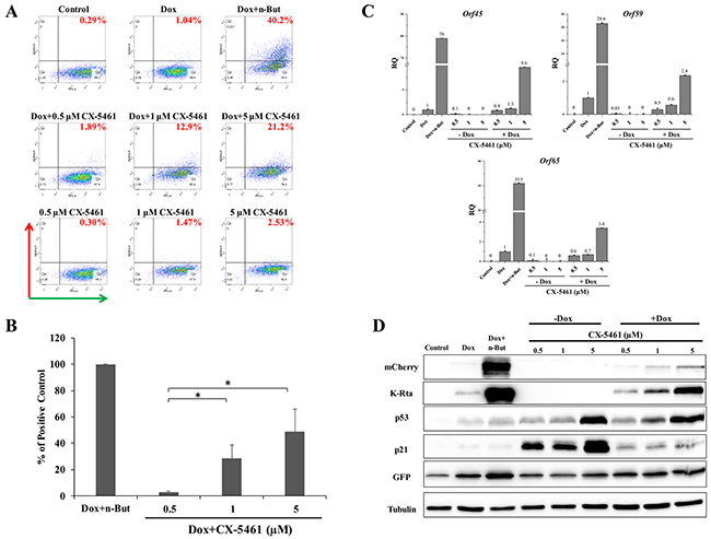 Enhancement of lytic induction of KSHV by combined treatment with CX-5461 and doxycycline in iSLK cells.