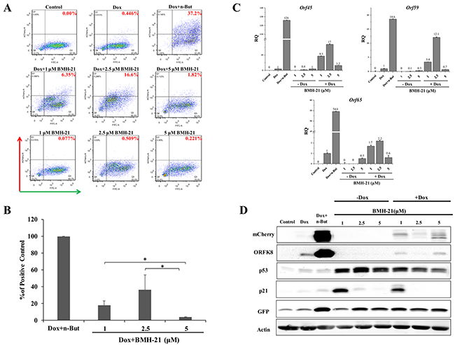 Enhancement of lytic induction of KSHV by combined treatment with BMH-21 and doxycycline in iSLK cells.