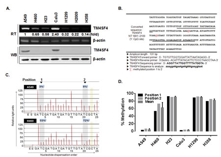TM4SF4 expression in lung cancer cell lines is regulated by methylation.