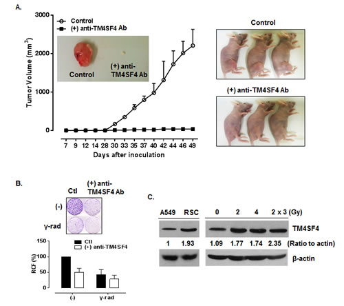 Anti-TM4SF4 antibody treatment inhibited the growth of xenograft tumor established by injection of TM4SF4-overexpressing A549 cells.