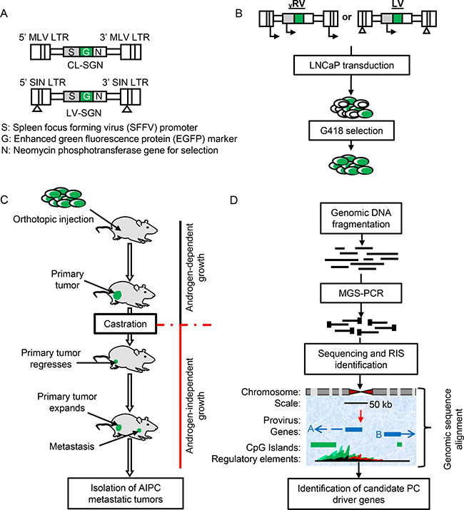 Retroviral vectors and insertional mutagenesis screen outline.