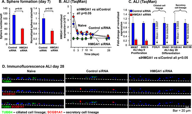 Effect of silencing HMGA1 on BC proliferation, and ciliated and secretory differentiation gene expression.