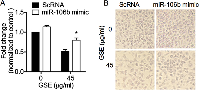 GSE induced anti-invasive effects in lung neoplastic cells via down-regulation of miR-106b, which was abrogated by transfection of miR-106b mimic.
