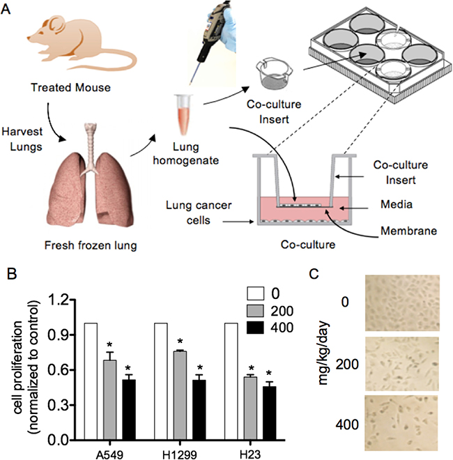 Lung homogenates from LP treated nude mice significantly reduced lung cancer cell proliferation in comparison to water-treated mice.