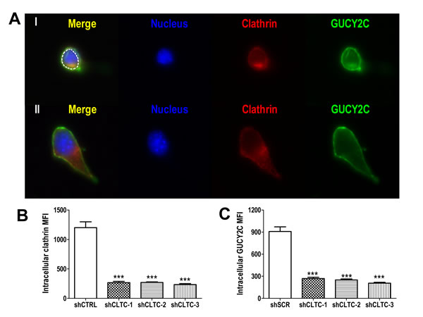 Lysosomotropic endocytosis of GUCY2C is clathrin-dependent.