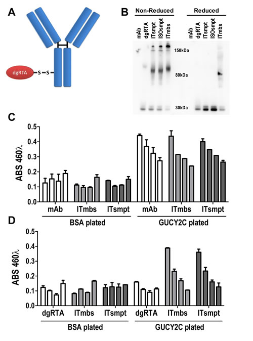 GUCY2C-targeted immunotoxin delivers dgRTA specifically to GUCY2C.