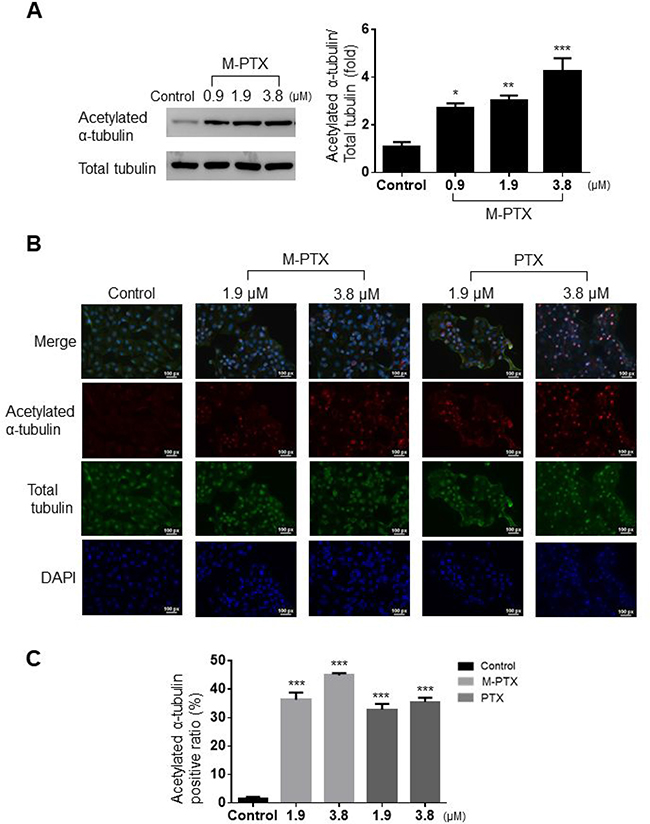 M-PTX NPs inhibited acetylation of α-tubulin and microtubule polymerization in human squamous cell carcinoma.